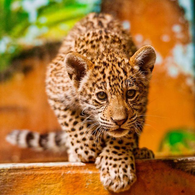 Baby Jaguar | animals