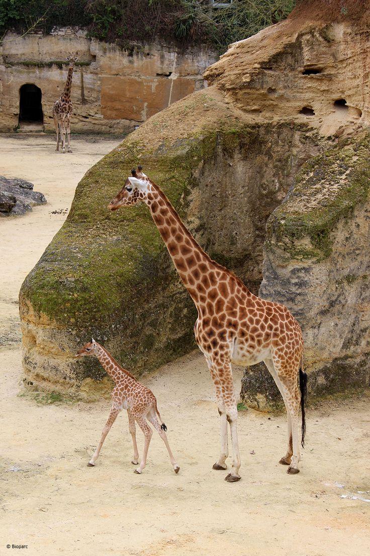 Zarafa, une petite femelle girafe, est la dernière née du Camp !