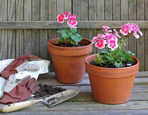 Jak pěstovat muškáty