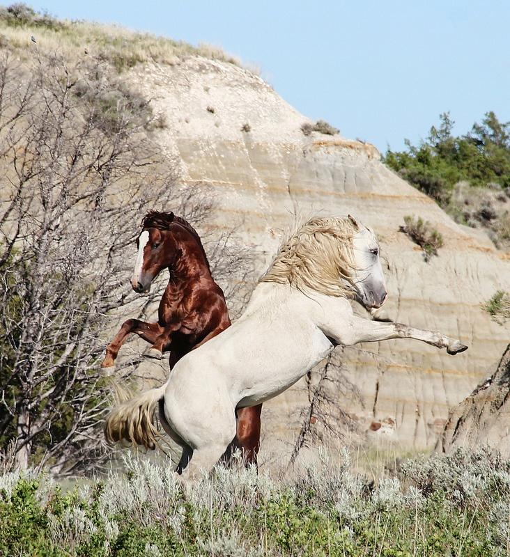 Wild horses, North Dakota badlands. Incredible picture!