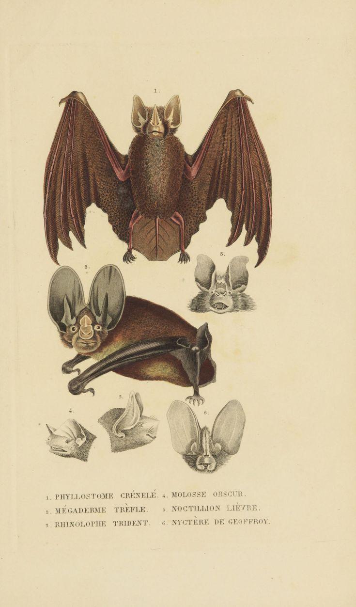 Chauve souris - Bat -  Gravures sciences naturelles - Histoire Naturelle - Megaderme trefle