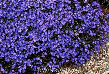 Georgia Blue Speedwell - Masses of small blue flowers smother the glossy foliage for months and appear sporadically throughout the year. The evergreen foliage becomes bronzy-purple in winter. A great weed-suppressing groundcover or bulb cover.