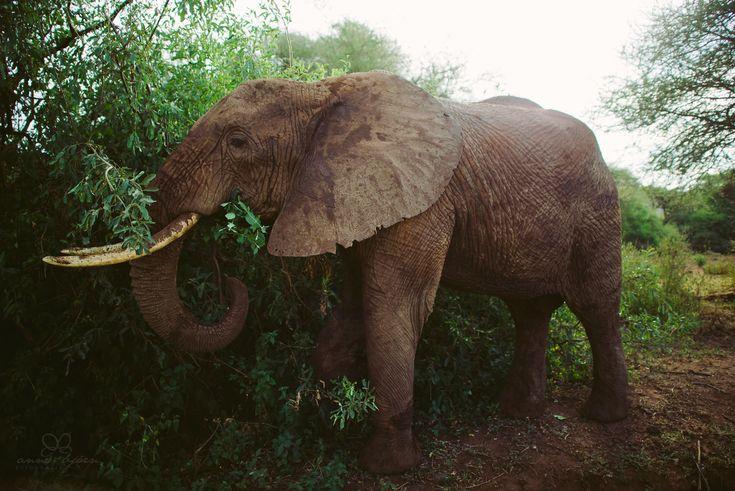 Tanzania, Elefant