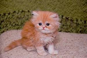 CFA Registered Teacup Persian Kittens - Detroit - Animals