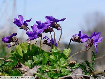 Violka vonná (Viola odorata), lidově zvaná také fialka, je vytrvalá bylina z čeledi violkovitých