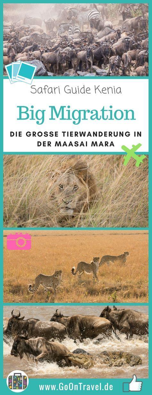 Eines der beeindrucktesten Erlebnisse in freier Wildbahn ist das hautnahe Erleben der großen Tierwanderung in Ostafrika. Die Big Migration! Millionen Gnus, Zebras und Gazellen wandern auf Nahrungssuche durch das Mara-Serengeti-Ökosystem und müssen dabei gefährliche Flüsse überqueren. Hier erfährst du alles, wie wir die große Tierwanderung hautnah in der Maasai Mara erlebt haben. #MaasaiMara #Kenia #Tierwanderung #Safari #SafariKenia #KeniaSafari
