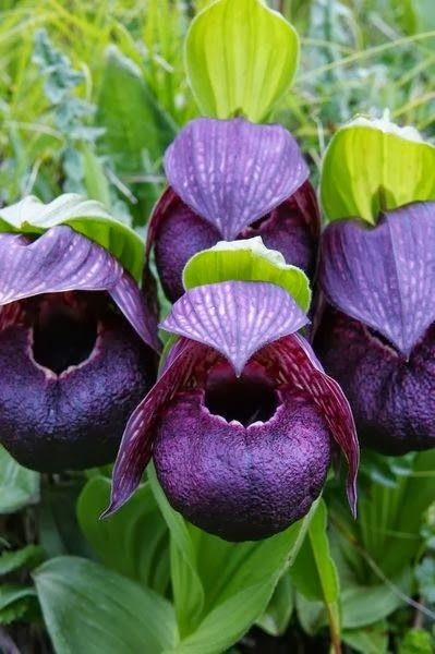 Cypripedium Tibeticum Orchids