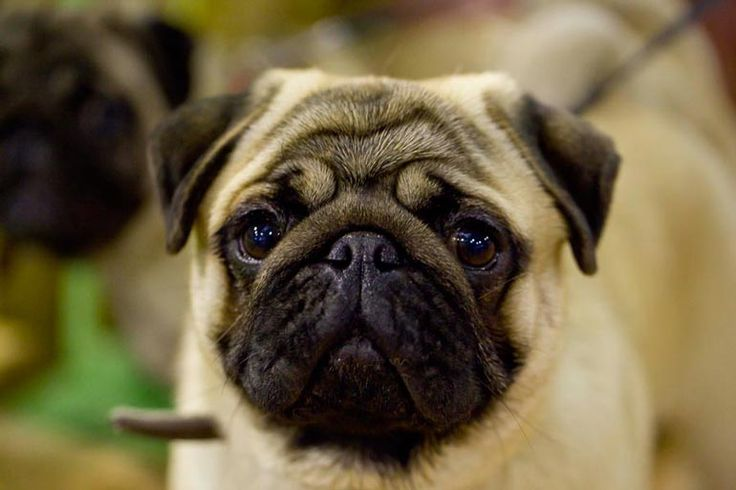 PUG - czyli MOPS :) Nice looking dog at show ring in Glogow #dogs #cute #cutedogs #pug #pugs #dogshow #glogow
