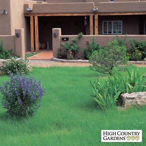 Bouteloua gracilis Hachita Grass Plugs, Bouteloua gracilis Hachita, Hachita Blue…