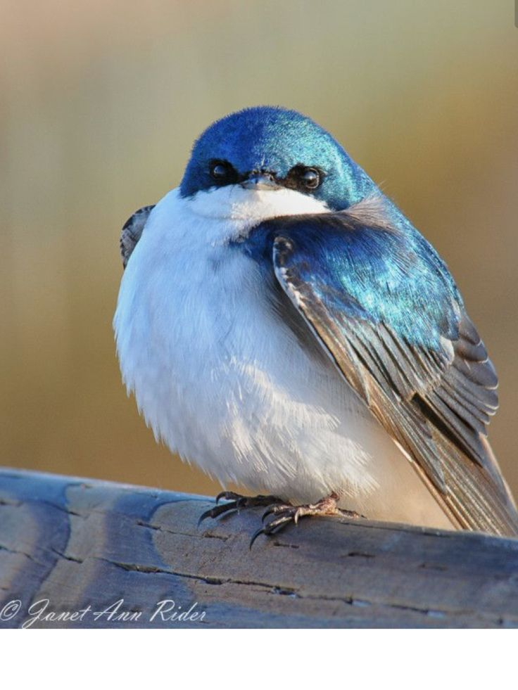 Tree Swallow in Nis-qually WL Refuge, WA State. 'King of Iridescent Blue' photo by Janet Rider on 500px // 500px