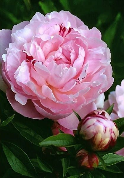Double Peony James Mannpink with red streaks 3-5 eyes