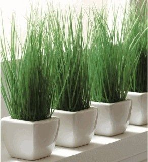 Cat grass grown indoors in simple pots makes a kitchen so inviting. Lovely living green window sill.