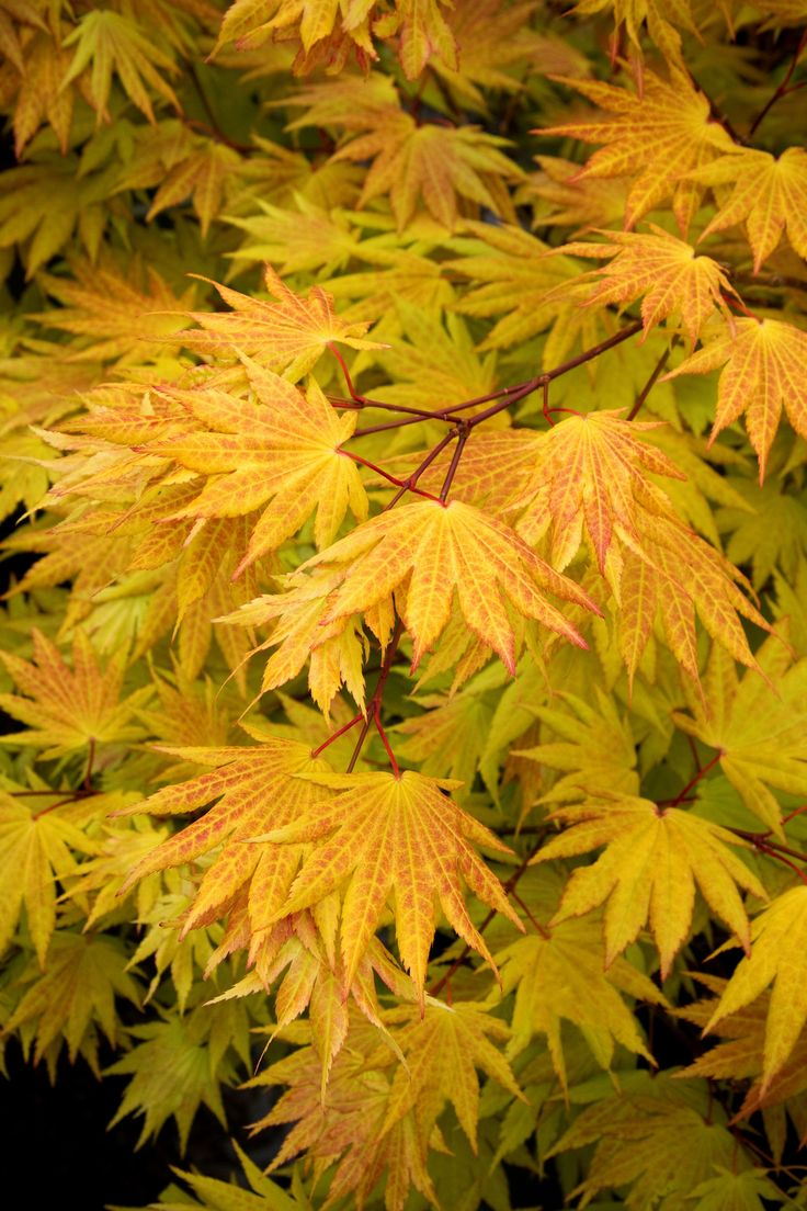 Top 25 ideas about japanese maples on pinterest gardens Japanese maple leaf