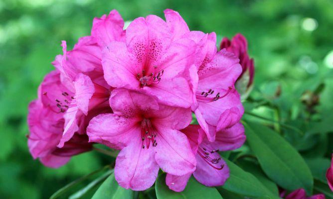 Mejores 28 im genes de plantes de casa en pinterest - Azalea cuidados planta ...