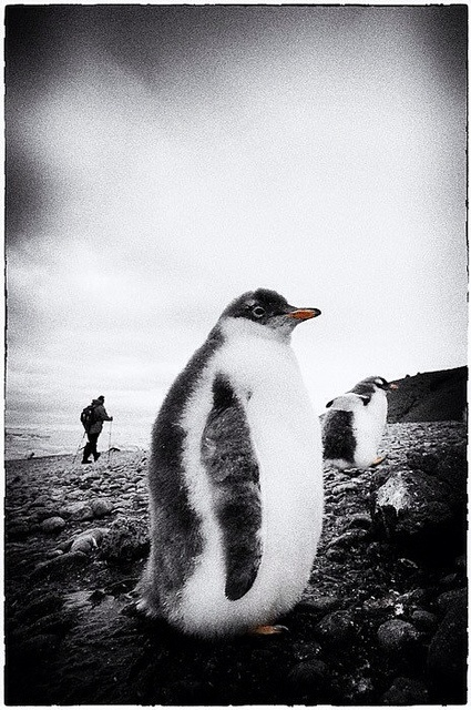 A fluffy friend I met at Brown Bluff, Antarctica.