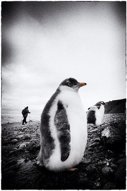 A fluffy friend I met at Brown Bluff, Antarctica.