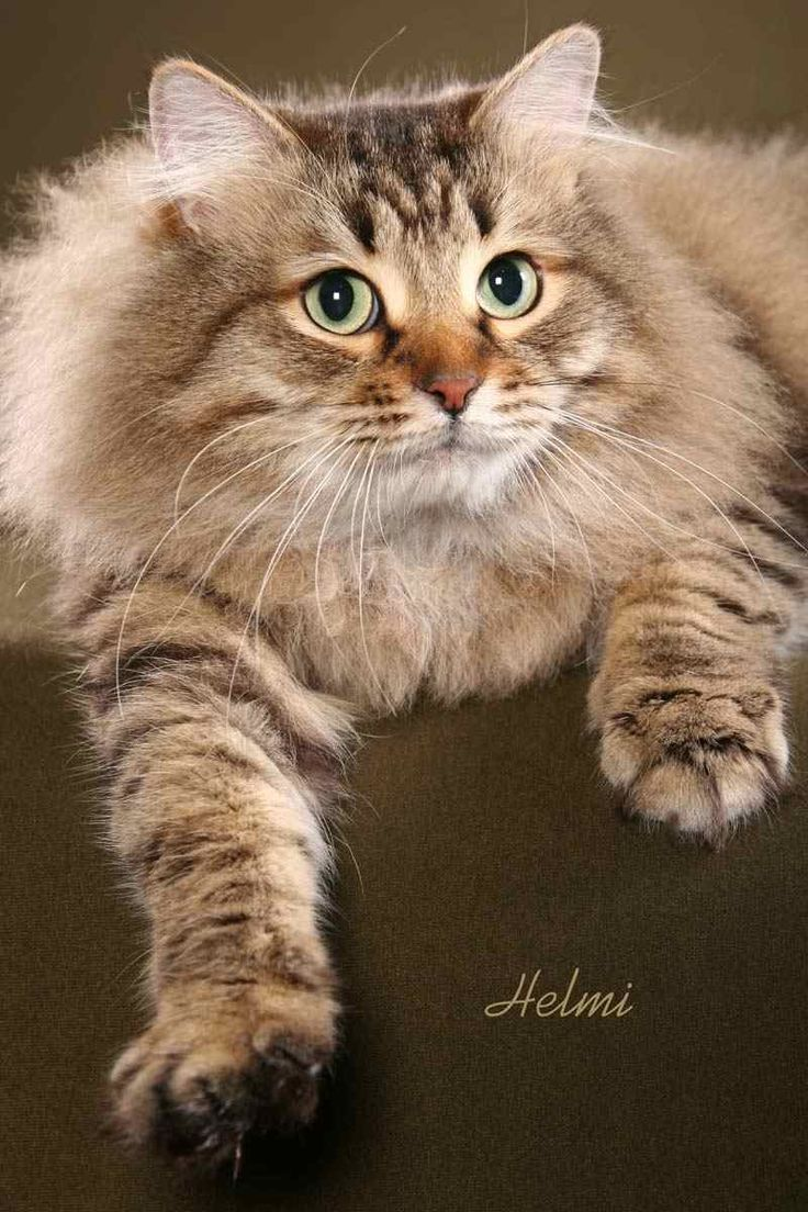 Siberian cat – Deema -Learn more about how to care for cats at catsincare.com!