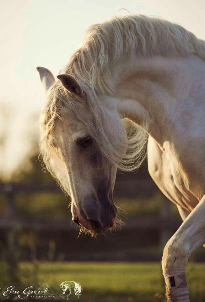 Фото головы белого коня