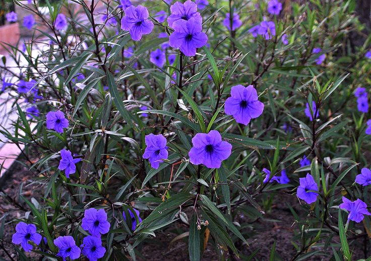 Mexican petunia/ Mexican bluebell (Ruellia brittoniana /Ruella simplex) | Acanthus family (Acanthaceae), native to Mexico/Caribbean/South America. Invasive in Florida, sun/part shade, average-moist water, fertile soil, zones 8-10 (zone 7 marginal, if protected)