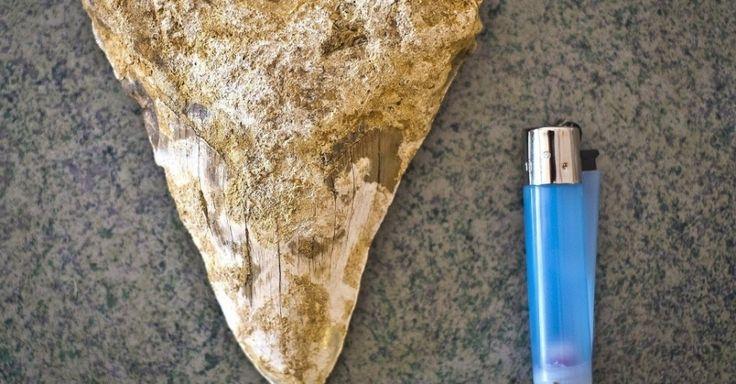 O agricultor Francisco Marín Raposo, que vive próximo a Lepe, em Huelva, na Espanha, encontrou o dente de tubarão com 15,5 cm de comprimento.  Fotografia: Julián Pérez/EFE.