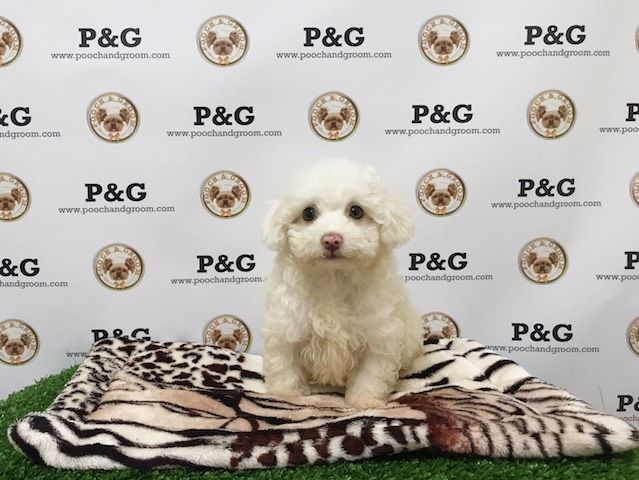 Maltese-Poodle (Toy) Mix puppy for sale in TEMPLE CITY, CA. ADN-39840 on PuppyFinder.com Gender: Female. Age: 11 Weeks Old