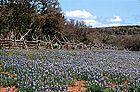 BLUE - Lupinus texensis