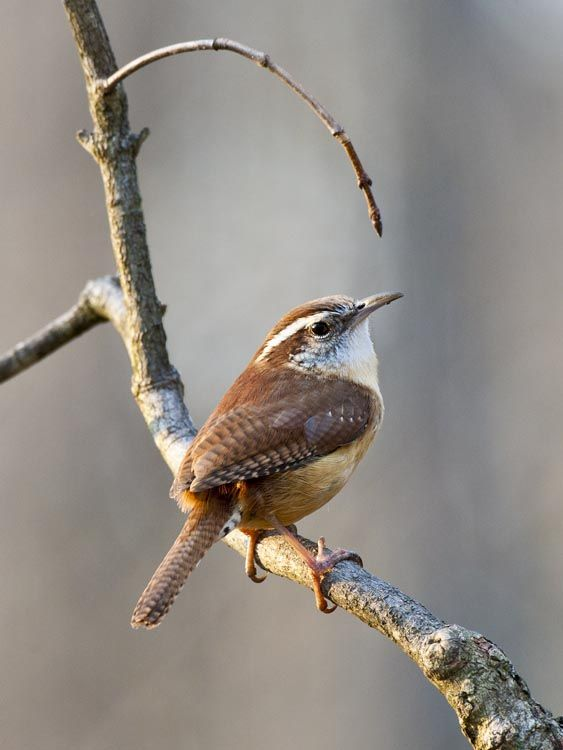 female carolina wren: even a tiny creature can be heard over the cacophony of life.