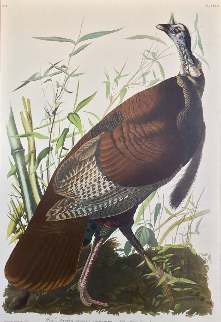 Special offer - Final copy - The Wild Turkey (male)