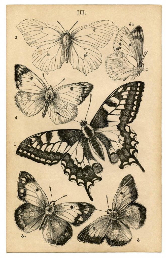 Butterfly print featuring a Swallowtail in the center ~ from c. 1850's Natural History book.