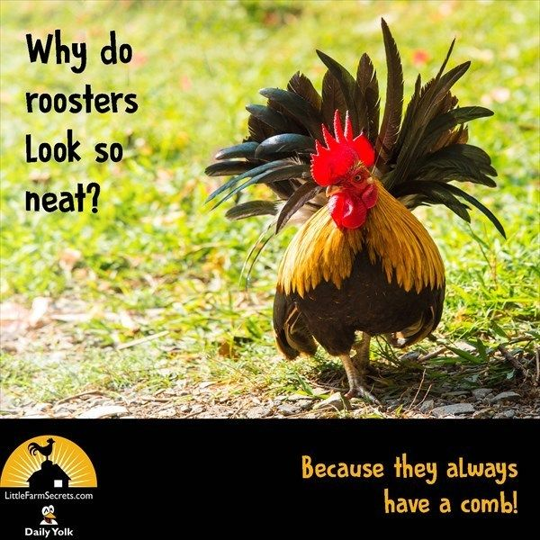 Why Do Roosters Look So Neat Because They Always Have A Comb Funny Jokes For Kids Corny Jokes Cute Jokes