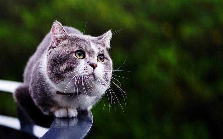 Hämta bilder grå päls katt, husdjur, katter, söta djur