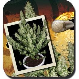 MAGNUM: Se trata de la autofloreciente más potente que existe, tanto que no creerás que es una autofloreciente.