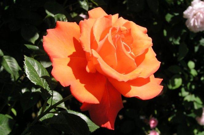 Růže jsou pýcha každé zahrádky. Navenek krásná rostlinka, která září různými barvami, ale pokud si nedáte pozor, může vás snadno poranit svými trny. Jejich pěstování se někdy může zdát složité, ale opak je pravdou. Nemusíte být žádný odborník, aby vám záhon růží rozkvete, pokud budete znát tento jednoduchý trik. Díky několika starším bramborám můžete proměnit …