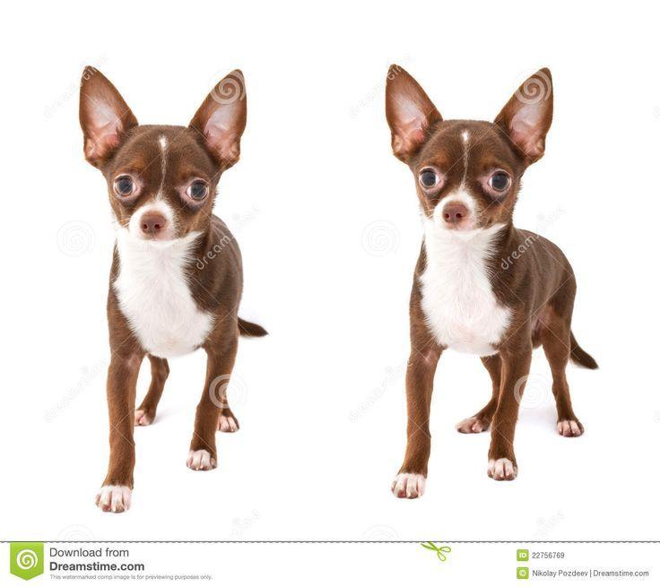 Chihuahuas Brown Adoption In 2020 Chihuahua Puppy Clothes Chihuahua Chihuahua Puppies
