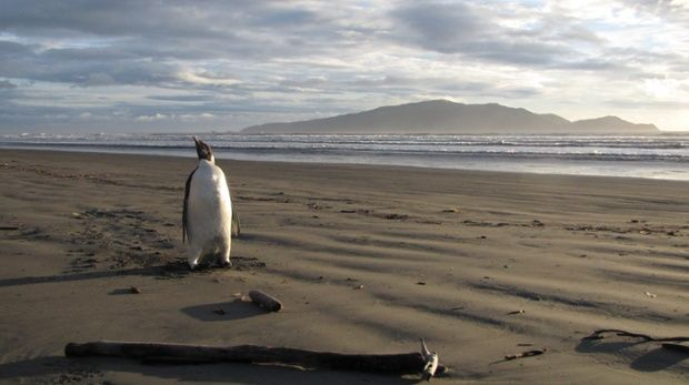 A handout photo taken on June 20, 2011 and released on June 22, 2011 shows an Emperor penguin in New Zealand, some 3,000 kilometres (1,900) from his Antarctic home. Global warming will send Antarctica's emperor penguins into decline by 2100, scientists projected on June 29, 2014, and called for the emblematic birds to be listed as endangered and their habitat better protected.