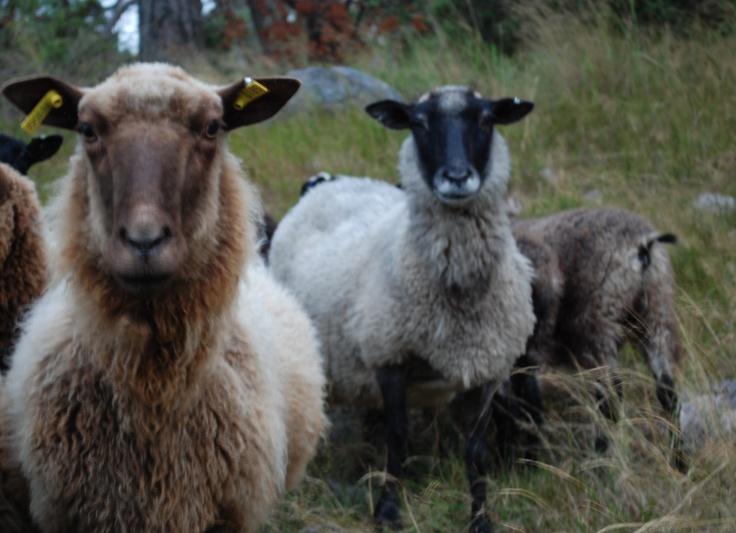 Saaristo sheep