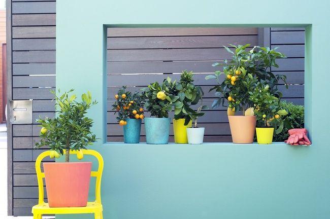 Das Zitrusbäumchen ist Gartenpflanze des Monats März - Pflanzenfreude.de