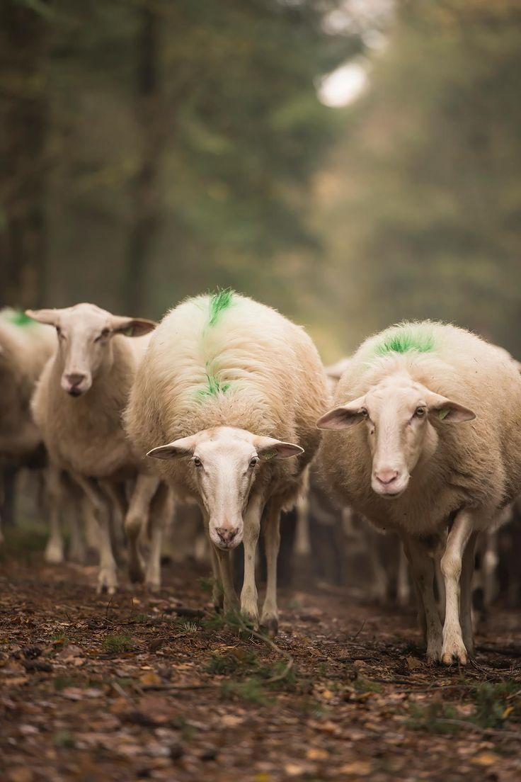 Over de witte wollen dieren op de woeste gronden van de Veluwe | www.twoonhuis.nl