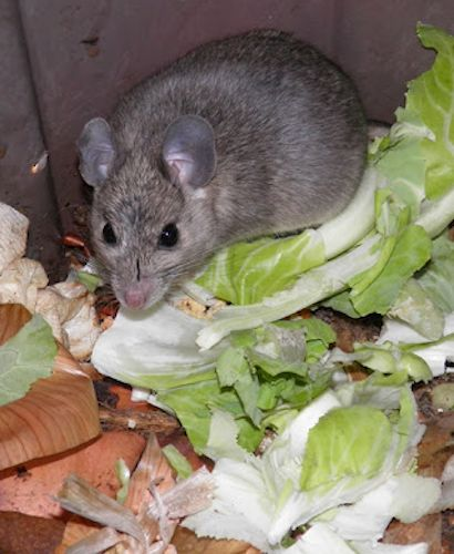 Keep rats out of your compost 5 must know tips composting gardens and garden compost for How to keep mice out of garden