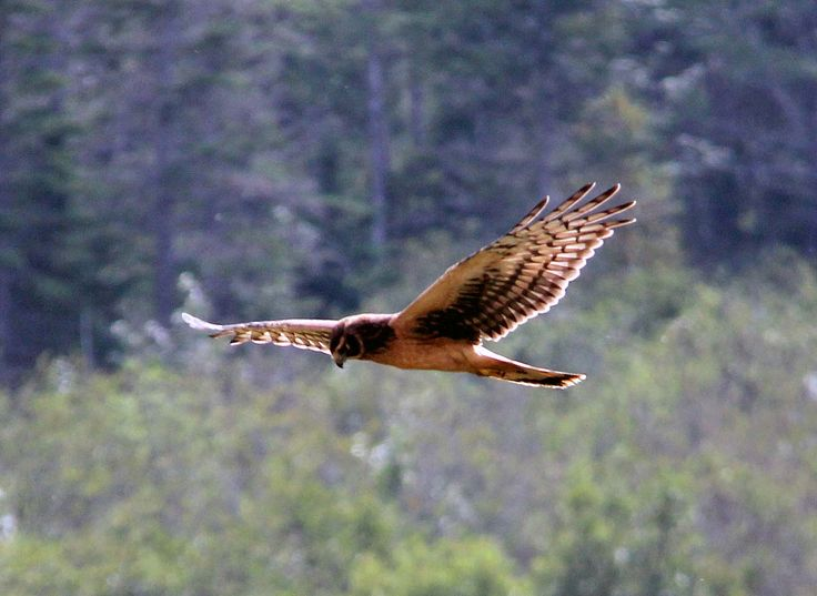 Watch air above the uncultivated fields of PEI closely. The odds are good that you will spot a Northern Harrier ghosting low above the chest high grasses, watching for an incautious rodent with which it will make its meal.