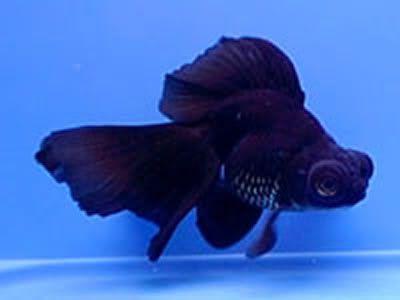 El pez telescopio.
