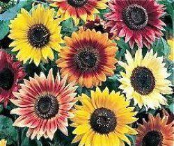 Runåbergs fröer - Autumn Beauty, ekofrö, ej F1 hybrid. 40 frön/g. En vacker blandning av solrosor i allt från klargult och bronsfärgat till mörkt purpurrött. Även en del tvåfärgade blommor förekommer. Autumn Beauty växer förgrenat och blir 150-180 cm hög med 12-15 cm stora blommor på långa stjälkar. En snittblomma utöver det vanliga. Kan ibland behöva stöd. En portion ger ca. 50 plantor