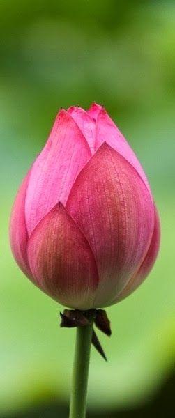 TwistMaterial: Lotus Flower