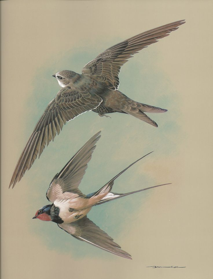 The House Martin & Sand Martin painting for framing