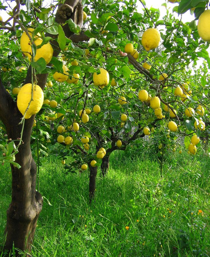 Sicilian lemon trees