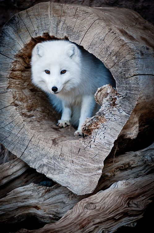 (Arctic Fox in Log by Ron Bebus