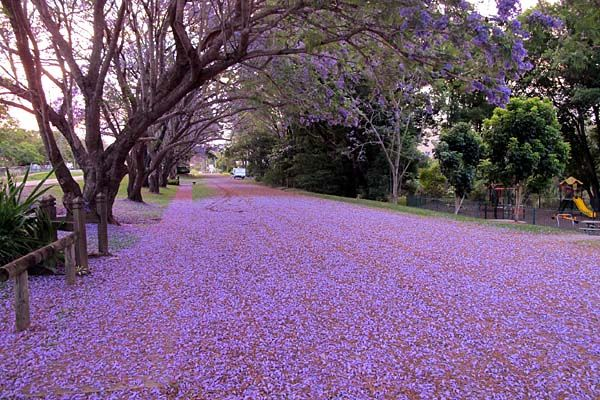 October is spring in Brisbane and the ground is flooded by a rain of lavender Jacaranda flowers.