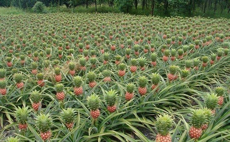 pineapple ananas comosus a plant is definitely cool when you can cut the top off the fruit. Black Bedroom Furniture Sets. Home Design Ideas