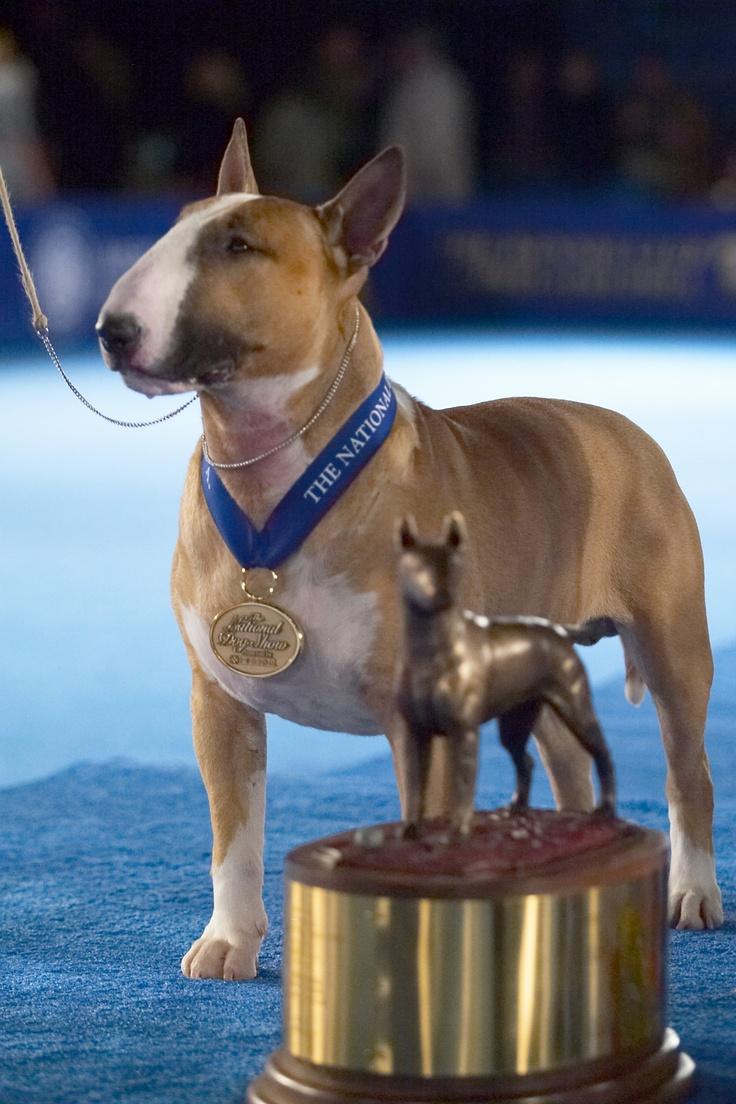 "2005: Colored Bull Terrier (Rocky Top's Sundance Kid, a.k.a. ""Rufus"")"
