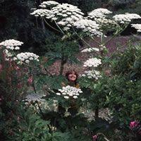 Heracleum mantegazzianum - Family: Umbelliferae Common name: Giant Hogweed Plant Classification: Hardy perennial Minimum Height: 2.4 meters Maximum Height: 3.0 meters